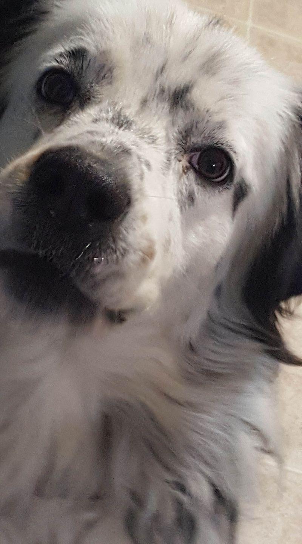 black and white english shepherd dog