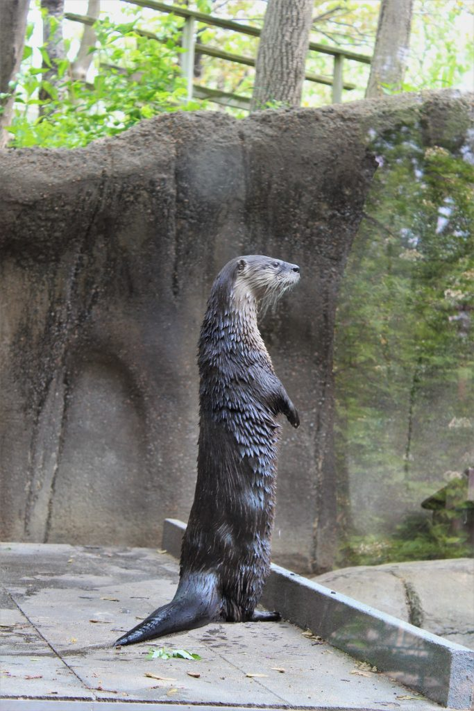 north american river otter standing on hind legs at st louis zoo