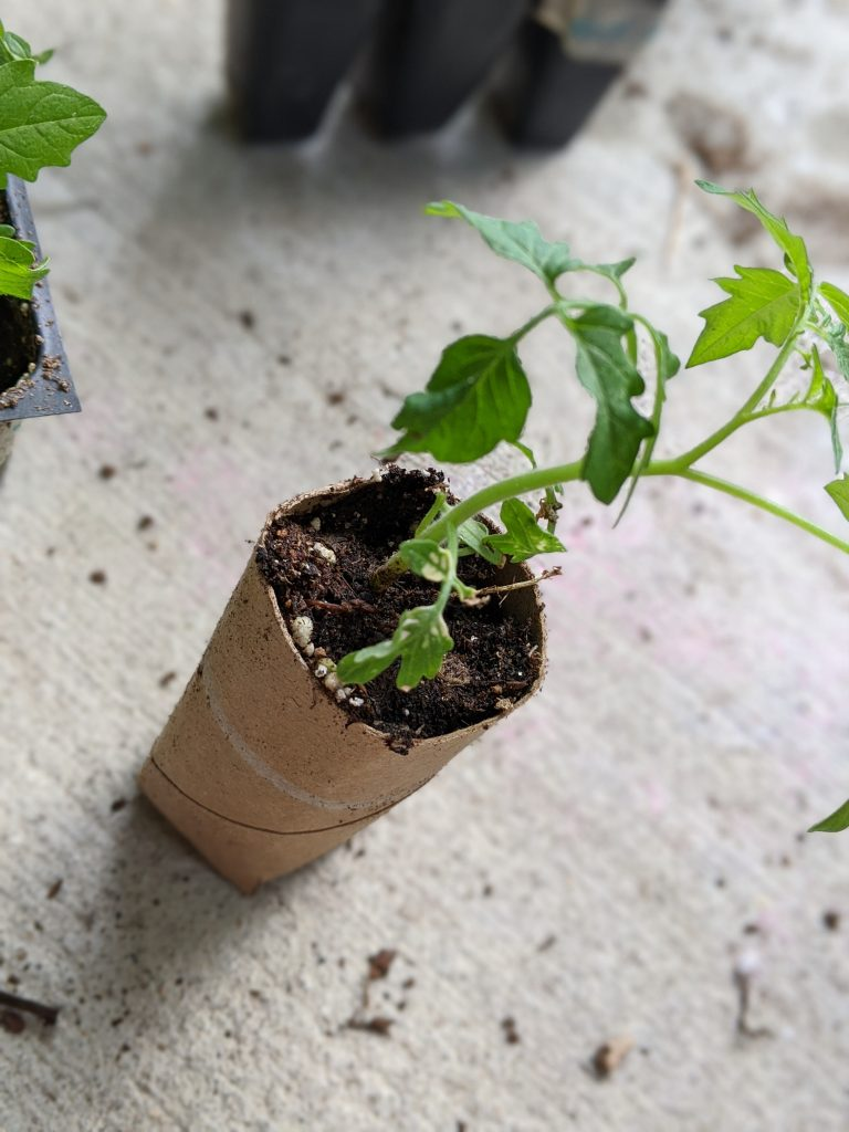 Small tomato plant growing out of a toilet paper tube filled with soil